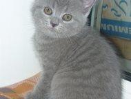 британские котята (плюшевые) продам котят британской породы (плюшевые), окрас «голубой», очень красивые, родители чемпионы, недорого, торг., Ангарск - Продажа кошек и котят