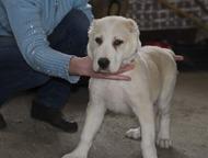 продам щенков среднеазиатской овчарки продаются щенки среднеазиатской овчарки цвет палевый-белый родились в 25 января 2016 года с родословной   цена 1, Нижний Тагил - Продажа собак,  щенков