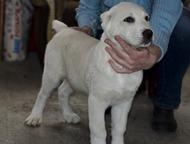 Нижний Тагил: продам щенков среднеазиатской овчарки продаются щенки среднеазиатской овчарки цвет палевый-белый родились в 25 января 2016 года с родословной   цена 1