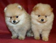 Шпиц померанский миниатюрный Шпиц померанский миниатюрный цена от 16 до 18 тыс р. Тел +7 (964)781-70-23 есть разные окрасы– рыжий, черный, белый и дру, Кемерово - Продажа собак,  щенков