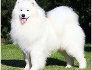Екатеринбург: Продаю шикарных щенков самоеда канадские крови Профессиональным питомником предлагаются щенки самоедской собаки, канадские крови, чистокровные самоеды