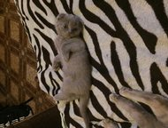 Хабаровск: Шотландские котята Продам 2х шотландских мальчиков (с документами) лиловый - фолд, голубой - страйт.   Возраст - 2 месяца. Едят самостоятельно, к лотк