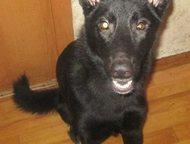 Хабаровск: отдам в хорошие руки крупную собаку Отдам в хорошие руки крупную собаку (мальчик, 1, 5 года, смесь с бельгийской овчаркой). Очень умный, чутко реагиру
