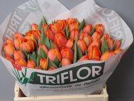 Тюльпаны оптом Хабаровск прямая поставка из Голландии Продам оптом голландские тюльпаны из питомника Голландии - Triflor BV. Прямая оптовая поставка и, Хабаровск - Растения