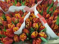 Хабаровск: Тюльпаны оптом Хабаровск прямая поставка из Голландии Продам оптом голландские тюльпаны из питомника Голландии - Triflor BV. Прямая оптовая поставка и