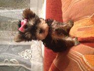 продам щенка йоркширского терьера продам щенка йоркширского терьера родословная документы клеймо прививка мини и норма, Хабаровск - Продажа собак,  щенков