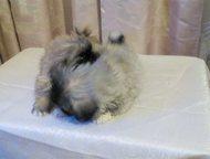 Хабаровск: Продаются щенки пекинеса Продаются щенки пекинеса.