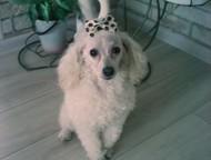 Ищем кобеля для вязки - той или карликовый пудель Ищем для вязки к августу, Ижевск - Вязка собак