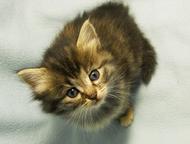 Котята в добрые руки Милые, добрые, игривые котята. Возраст 1, 5 месяца. Уже едят корм и все ходят в лоток с первого дня., Ижевск - Продажа кошек и котят