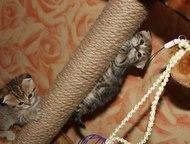Энгельс: Продам котят шотландские мраморные вислоухие все Продам котят. Родились 24. 02. 2016г. Стоимость 3500. Кушают сами:картофель, курицу, капусту-брокколи