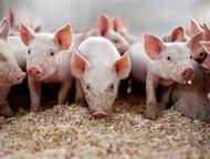 Казань: Реализуем свиней и поросят оптом Реализуем свиней и поросят оптом, от одного месяца.   порода: крупные белые, беконки 3-ех породки, ландрас, дюрок.