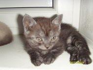 Кемерово: Продам котят Пушистые медвежата к Новому году. С родословной и документами. Окрасы разные