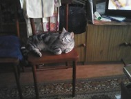 Кемерово: Молодой красивый крупный полон сил британец, для вязки молодой красивый кот- британец. очень красивого окраса с чётко выраженным рисунком : ждёт кошеч