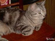 Кот для вязки молодой кот-барсик: готов к встречи с кошечками на его территории. красивый и полон сил. с чётко выраженным рисунком британец. от породи, Кемерово - Вязка кошек (случка)
