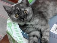 Бриташки очаровашки родились 27 января, нам уже 2, 5 мес. 2 мальчика и 3 девочки. котята чистокровные, без документов. Полностью самостоятельные, у ка, Красноярск - Продажа кошек и котят
