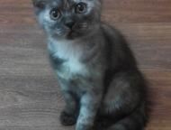 Британские котята Замечательные котята родились 27 января (нам уже 2, 5 мес). Остался 1 мальчик, будущий футболист, очень любит гонять мяч и 2 девочки, Красноярск - Продажа кошек и котят