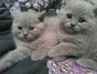 Магнитогорск: плюшевые медвежатки продам красивых котят . цвет лиловый. котята крупные. остались 2 мальчика.
