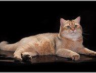 Москва: вязка британец золотая шиншилла Британский клубный котик (с документами), золотая тикированая шиншилла ny-25 имеет титул САС (кандидат в чемпионы поро