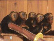 Москва: Продам Львиный тамарин, Львиноголовый Leontideus chrysomelas Продам Золотоголовый тамарин (львиный тамарин) . Leontideus chrysomelas .   Это обезьянки