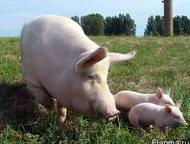 Свинокомплекс реализует свиней и поросят оптом Свинокомплекс реализует свиней и поросят оптом, от одного месяца.   порода: крупные белые, беконки 3-ех, Казань - Разное