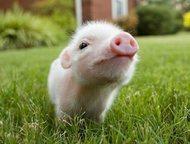 Казань: Свинокомплекс реализует свиней и поросят оптом Свинокомплекс реализует свиней и поросят оптом, от одного месяца.   порода: крупные белые, беконки 3-ех
