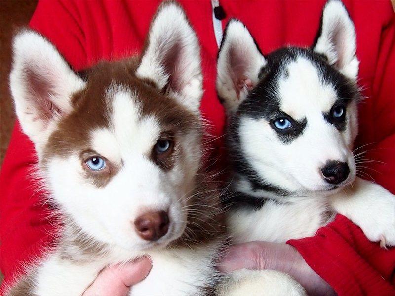 сказать, хаски купить щенка в москве цена она бывает