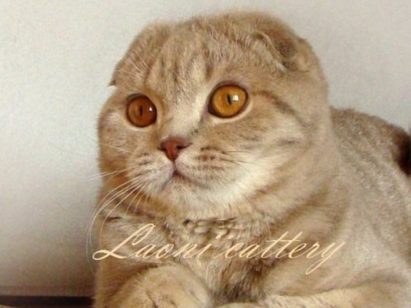 Вислоухий котенок чихает