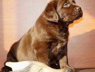Щенки лабрадора с клеймом и документами Продаём прекрасно выращенных щенков лабрадора от великолепных производителей. Все наши детки с прекрасной родо, Нижневартовск - Продажа собак,  щенков