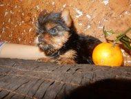Щенки йорка Продается роскошный маленький мини мальчик от Омниваруса! Кукольный с короткой мордочкой, бэби фэйс, сладкие глазки, изумительный характер, Новый Уренгой - Продажа собак,  щенков