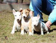 Пушкино: Щенки миниатюрного бультерьера, Мальчики и девочки Питомник предлагает перспективных щенков мальчиков и девочек миниатюрного бультерьера.   Дата рожде
