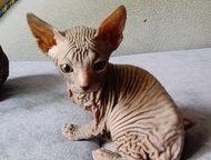 Волгодонск: Продаю котят Донского сфинкса Котята рожденные 13 марта. Два мальчика.