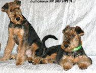 Перспективные 2 щенка мальчика эрдельтерьера Питомник ЯР ЭЙР ИРЕН предлагает замечательных двух щенков мальчиков эрдельтерьера. для выставок, спорта , Ярославль - Продажа собак,  щенков