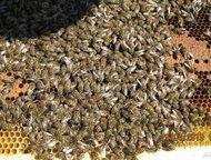 пчелопакеты карпатка 2500 (2+2 рамочные) и 3+1. 2800   пчела спокойная, усидчивая на рамке не злобливая, продуктивная.качество гарантирую. зимует норм, Оренбург - Домашние животные - разное