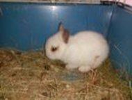 Самара: Декоративные крольчата Продам декоративных крольчат, белого цвета возраст 1, 5 месяца.