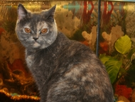 Солнечногорск: ищим кота для вязки, Молодая, красивая, здоровая кошечка британской породы, ищет котика для вязки.