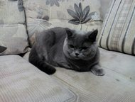 Молодой британский котик ищет подружку для вязки Ищем подружку для первой вязки. Котику год, привитый., Тольятти - Вязка кошек (случка)