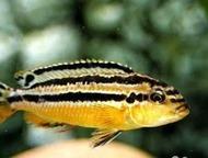 Продаю и отдаю даром цихлид озера Малави 1. Melanochromis auratus. мальки 2 см. - 50 руб.   2. Pseudotropheus deep orangh (чешская селекция). мальки 2, Златоуст - Аквариумные рыбки
